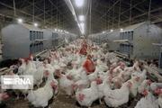ظرفیت مرغداری های گوشتی شهر بابک ۴۵۰هزار قطعه اعلام شد