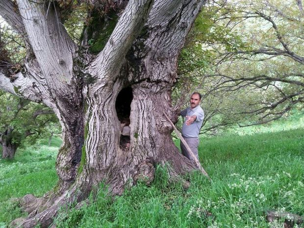 درختان کهنسال اردبیل ثبت ملی میشوند