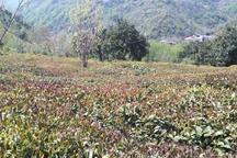 کشاورزی گیلان 2 هزار میلیارد ریال خسارت دید