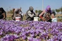700 کیلوگرم زعفران از مزارع چهارمحال و بختیاری برداشت شد