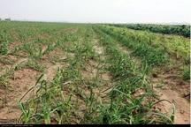 حوادث 5614 میلیارد ریال به کشاورزان خراسان شمالی خسارت زد