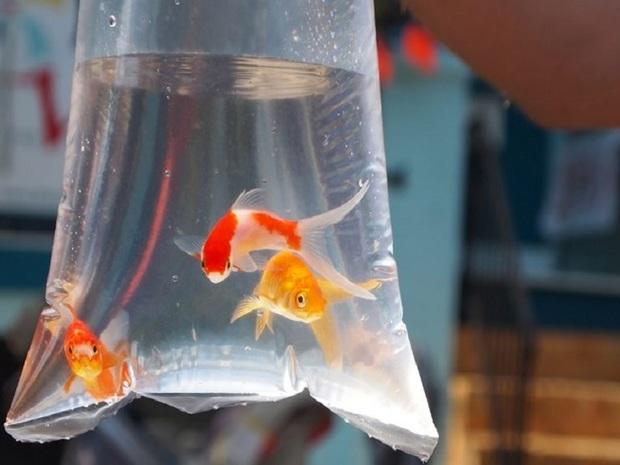 ماهی قرمز با نظارت دامپزشکی عرضه می شود