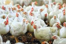 پرورش مرغ گوشتی برای 50 نفر در چابهار شغل ایجاد کرده است