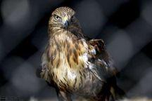 ۹ صیاد غیرمجاز پرندگان شکاری در شرق گلستان دستگیر شدند