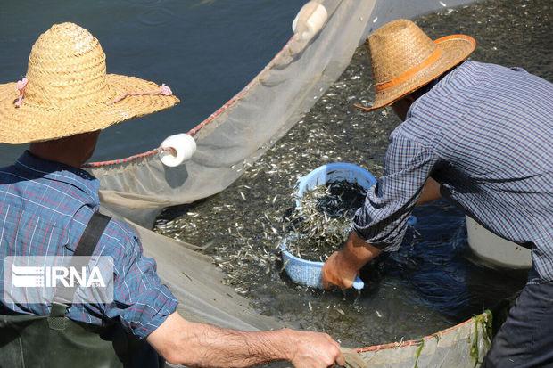 نجات میلیونها ماهی گرفتار در آبگیرهای دریاچه سد گتوند