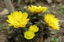 با گیاه آدونیس کنترل تپش قلب خود را در دست بگیرید