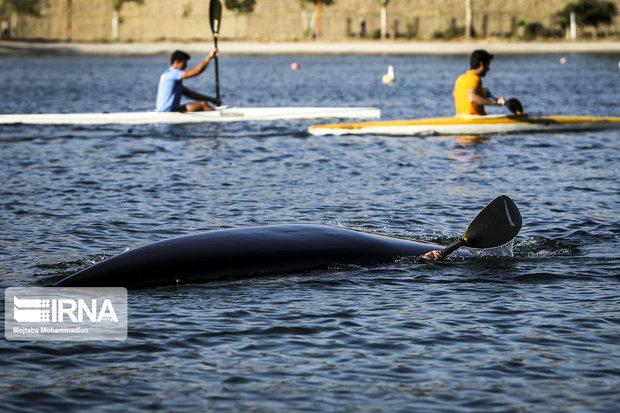 بیست ویکمین مسابقه قایقرانی کانو تکنفره درآبهای خلیج فارس آغازشد
