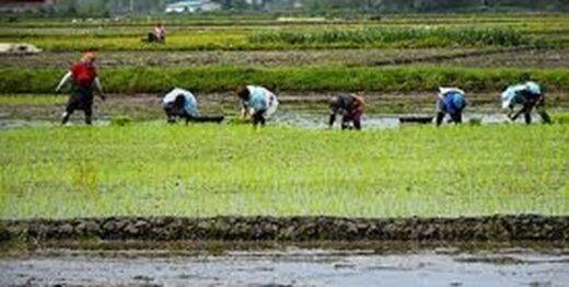 افزایش 300 درصدی دستمزد نشاء برنج در مازندران