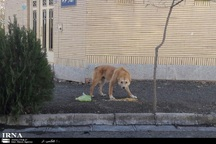 معضل ولگردی سگها در کوچه پسکوچه های سبزوار