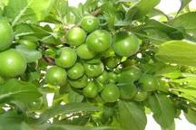 برداشت گوجه سبز در ابرکوه و مهریز آغاز شد
