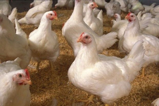 مدیرکل دامپزشکی ایلام: مردم از خرید پرندگان زنده خودداری کنند