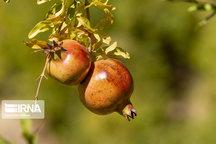۲۴۰۰ هکتار سطح باغات انار قم است