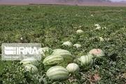 برداشت محصول هندوانه و گوجه در جاسک آغاز شد