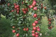 6 هزار تن سیب گلاب از باغات بروجرد برداشت می شود