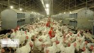 کرونا به صنعت مرغ جوین پنج میلیارد ریال خسارت وارد کرد