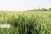 پیش بینی تولید ۱۴ میلیون تن گندم در کشور