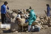 بیشاز ۲۳۲ هزار راس دام در سیستان و بلوچستان علیه بیماری بروسلوز واکسینه شدند