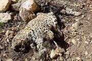 کشف لاشه یک پلنگ در الموت شرقی