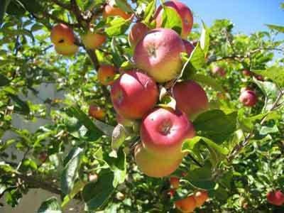 برداشت سیب پاییزه از باغات بروجرد آغاز شد
