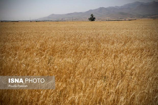 پیشبینی تولید ۹۰۰ هزار تن گندم در آذربایجان شرقی