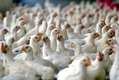 کشف پنج هزار قطعه مرغ زنده در سلطانیه