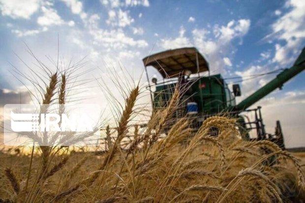 ۴۲ هزار تن گندم در خمین برداشت شد