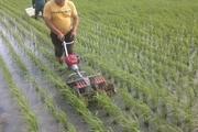 کاهش کشت برنج در کرمانشاه ضروری است