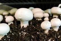 فوت 9 نفر در 3 استان به دلیل مصرف قارچ غیر پرورشی