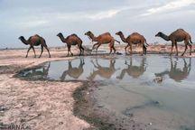 ۴۰ نفر شتر قاچاق در زاهدان کشف شد