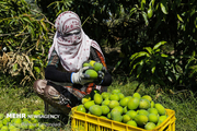 هرمزگان رتبه نخست تولید انبه در کشور پیش بینی برداشت ۱۶ هزار تن
