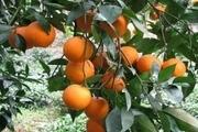 برداشت پرتقال و لیموشیرین از باغهای ایذه آغاز شد