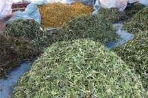 کشت گیاهان داروئی اولویت وزارت جهادکشاورزی برای توسعه اشتغال