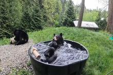 آبتنی خرس سیاه ۱۸۰ کیلویی در تشت پر از آب