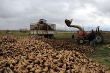 ۱۵ هزار تن چغندر قند در خوشاب برداشت شد