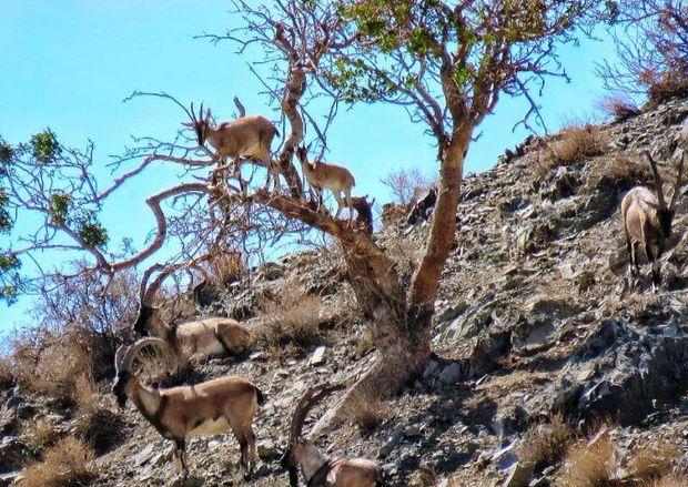 آغازسرشماری پاییزه حیات وحش در مناطق زیست محیطی فارس