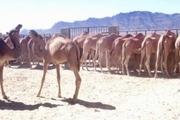 راهاندازی اولین جایگاه پرورش شتر شیری در سراوان