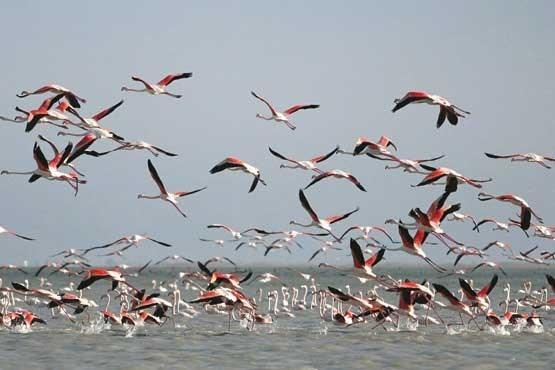 کوچ سالانه پرندگان مهاجر به تالاب میقان اراک