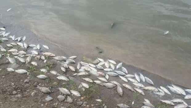 تلف شدن ماهیان رودخانه های لرستان به دلیل خشکسالی