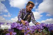۱۵ درصد مبالغ خرید حمایتی زعفران در خراسان رضوی پرداخت شد