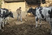 ۹۱ هزار تن شیر در کهگیلویه و بویراحمد تولید می شود
