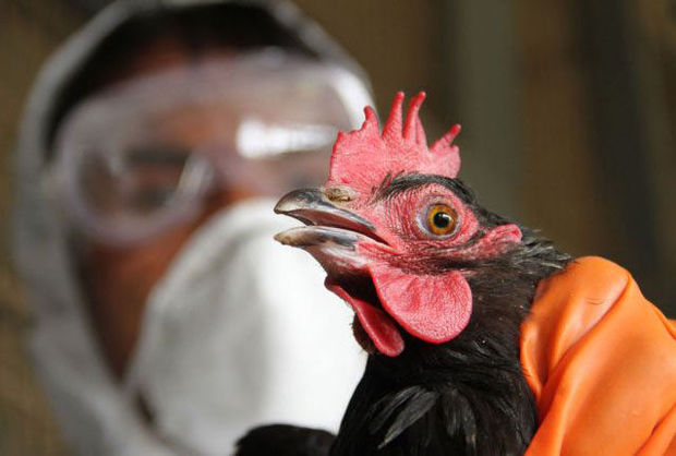 طرح پیشگیری از آنفلوانزای فوق حاد پرندگان در گلستان آغاز شد