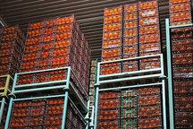 ذخیره سازی میوه شب عید در گیلان آغاز شد