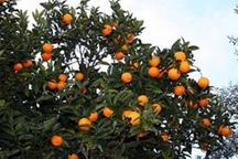 پیش بینی برداشت 21 هزار تن پرتقال و نارنگی در کهگیلویه و بویراحمد