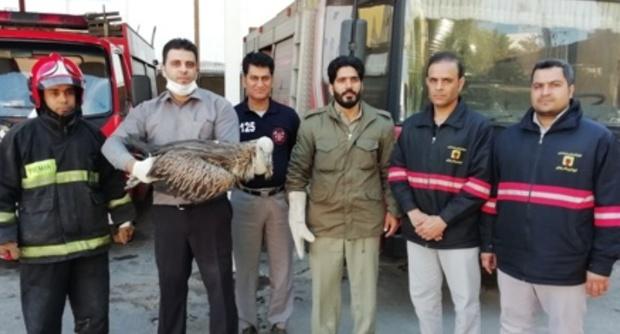 محیط زیست بوشهر یک کرکس مصدوم را مداوا کرد