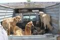 جمع آوری 700 قلاده سگ از سطح شهر تبریز