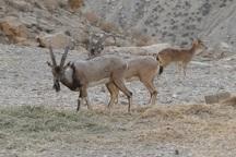 سرشماری پستانداران پناهگاه حیات وحش کیامکی در جلفا آغاز شد