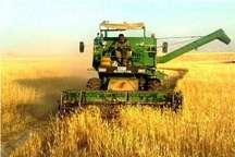 میزان خرید گندم از کشاورزان استان سمنان به 60 هزار تن رسید