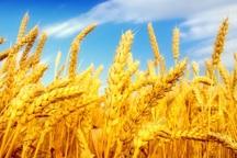 بیش از 63 هزار تن گندم در شاهین دژ برداشت شد