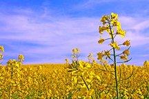 1400هکتار از اراضی کشاورزی استان زیر کشت کلزا رفته است