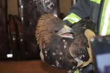 تحویل یک بهله عقاب طلایی به محیط زیست ملایر
